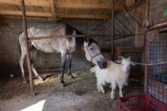 Azienda agricola - un cavallo e una capra fotografia stock