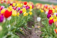 Azienda agricola variopinta del tulipano Fotografia Stock