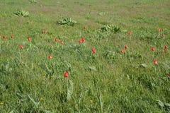 Azienda agricola variopinta del tulipano a Washington con cielo blu Immagini Stock