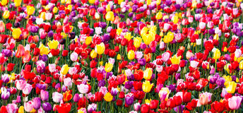 Azienda agricola variopinta della lampadina di file dei tulipani del fiore dell'agricoltore ordinato dei petali Fotografia Stock