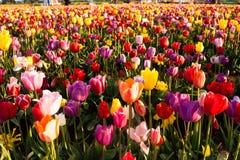 Azienda agricola variopinta della lampadina di file dei tulipani del fiore dell'agricoltore ordinato dei petali Fotografia Stock Libera da Diritti