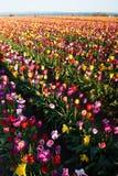 Azienda agricola variopinta della lampadina di file dei tulipani del fiore dell'agricoltore ordinato dei petali Fotografie Stock