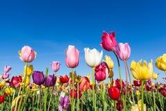 Azienda agricola variopinta e cielo blu del tulipano Immagini Stock Libere da Diritti