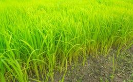 Azienda agricola verde del riso, campagna della Tailandia Immagini Stock