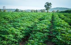 azienda agricola verde della manioca Immagine Stock