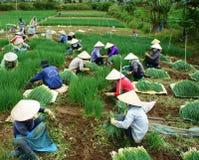 Azienda agricola vietnamita della cipolla del Vietnam del raccolto dell'agricoltore Immagini Stock