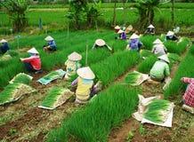 Azienda agricola vietnamita della cipolla del Vietnam del raccolto dell'agricoltore Fotografia Stock