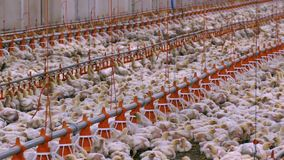 Azienda avicola stock footage