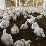 Azienda avicola Fotografie Stock Libere da Diritti