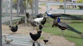 Azienda avicola con i pavoni stock footage