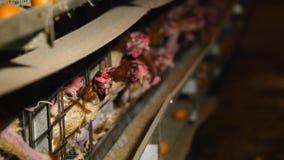 Azienda avicola con molti uccelli nella gabbia Alimentazione elettrica automatica Il concetto di automazione di produzione stock footage