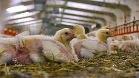 Azienda avicola contemporanea del pollo archivi video