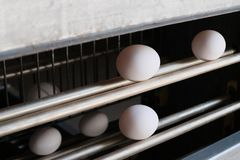 Azienda avicola Linea di trasformazione moderna di trasferimento dell'uovo bianco Produzione di uova industriale Fine in su immagini stock