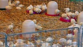 Azienda avicola per i tacchini crescere stock footage