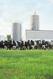 Azienda lattiera con le mucche fuori durante l'estate Immagine Stock