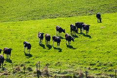 Azienda lattiera da qualche parte in Nuova Zelanda Immagine Stock