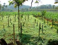 Aziende agricole amare della banana e della zucca nel Kerala, India Immagine Stock