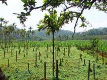 Aziende agricole amare della banana e della zucca nel Kerala, India Fotografie Stock