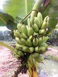 Aziende agricole degli agricoltori della banana in Tailandia Immagine Stock Libera da Diritti