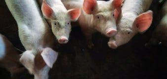 Aziende agricole dei maiali fotografia stock libera da diritti