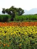 Aziende agricole del tagete Immagine Stock