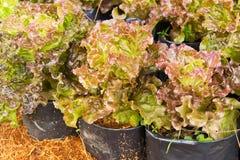 Aziende agricole di verdure organiche Immagini Stock