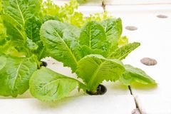 Aziende agricole di verdure organiche per fondo. Fotografie Stock Libere da Diritti