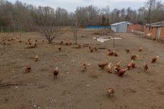 Aziende agricole e polli di pollo Immagine Stock Libera da Diritti