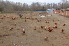 Aziende agricole e polli di pollo Immagini Stock Libere da Diritti
