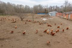 Aziende agricole e polli di pollo Fotografia Stock