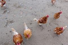 Aziende agricole e polli di pollo Fotografie Stock Libere da Diritti