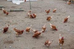 Aziende agricole e polli di pollo Fotografia Stock Libera da Diritti