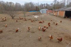 Aziende agricole e polli di pollo Immagine Stock