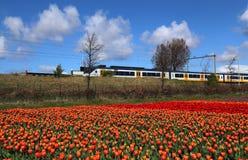 Azionamenti del treno dopo il giacimento di fiore in Olanda Fotografie Stock