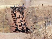 Azionamento del bestiame lungo una strada della montagna Fotografia Stock