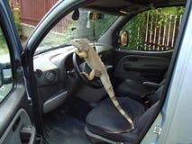 Azionamento dell'iguana Immagini Stock