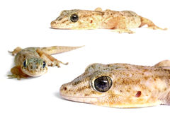 Azione del Gecko Immagini Stock Libere da Diritti