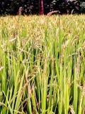 Azione del riso fotografia stock