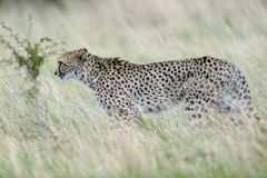 Azione furtiva del ghepardo Fotografia Stock