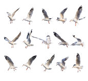 15 azioni differenti del gabbiano di volo Fotografia Stock Libera da Diritti
