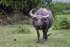 Azja bizon Zdjęcie Royalty Free