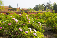 Azja Chiny, Pekin, Jingshan wzgórza park, wiosny landscapeï ¼ ŒPeony ogrodowy festiwal Zdjęcie Stock