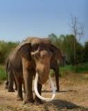 Azja elephent postronek z łańcuchem w Thailand Obraz Royalty Free