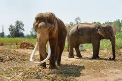 Azja elephent postronek z łańcuchem w Thailand Fotografia Royalty Free