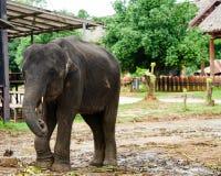 Azja elephent postronek z łańcuchem w Thailand Fotografia Stock