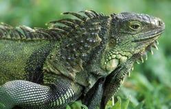 AZJA INDONEZJA BALI REPTIL ZWIERZĘCA iguana Obraz Stock