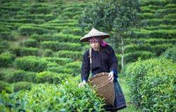 Azja kobiety podnosili herbacianych liście przy herbatą Zdjęcia Stock