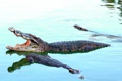 Azja krokodyl 2 Obrazy Stock