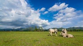Azja krowy na zieleni śródpolnym i ładnym niebie Zdjęcia Stock