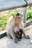 Azja małpa obrazy stock
